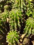 Drzewo zielony kaktus sunbathed Zdjęcia Royalty Free