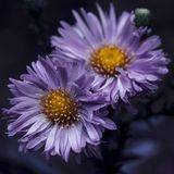 Two purple flowers in autumn royalty free stock photo