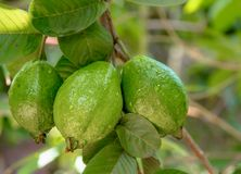 Bunch of Guava fruits in the tree stock photos