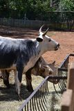 DSC_0105 NGUNI COW 2. Nguni cattle, indigenous to Souther Africa, feed from a trough Royalty Free Stock Photos