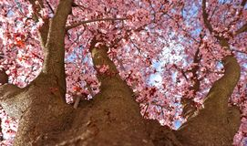Blooming Japanese plum tree, down to top view stock photo