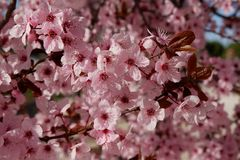 Japanese plum or cherry tree in blossom stock photos