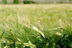 Close up of green young wheat field at daytime. stock photos