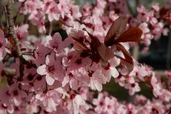 Close up on Japanese plum tree with tender pink flowers royalty free stock photos