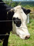 Cow on Farm looking through fence in Hamner Springs, New Zealand. royalty free stock images