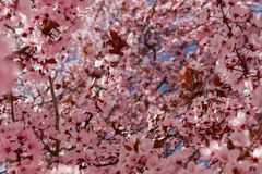 Beautiful spring background of japanese cherry blossom stock images