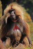 Dschelada baboon monkey. Simien Mountains - Ethiopia royalty free stock images
