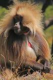 Dschelada baboon monkey. Simien Mountains - Ethiopia stock photo