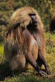 Dschelada baboon monkey. Simien Mountains - Ethiopia stock images