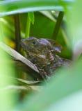 Dschungel-Eidechse Stockfoto