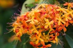 Dschungel ixora lamk chinensis Stockbild