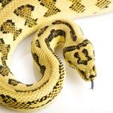 Dschungel-Jaguar-Teppich-Pythonschlange lizenzfreies stockfoto