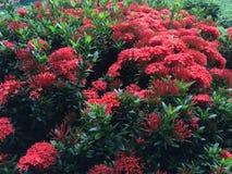 Dschungel-Pelargonie, rot Stockfotos