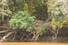 Dschungel Riverbank-Landschaft mit dem Pflegen von Jaguar Stockbilder