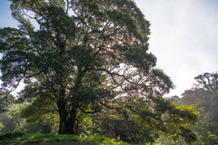 Dschungelbaum Lizenzfreies Stockbild