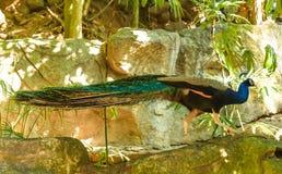 Dschungelgeflügel Stockbild