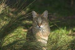 Dschungelkatze (Felis chaus) Lizenzfreie Stockbilder