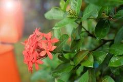 Dschungelpelargonienflamme des Holzes und Dschungel flammen Ixora-coccinea rote blühende Pflanze im Garten Stockfotos