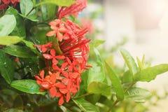 Dschungelpelargonienflamme des Holzes und Dschungel flammen Ixora-coccinea rote blühende Pflanze im Garten Stockbild