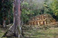 Dschungelruinen des alten Tempels mit Baum Lizenzfreies Stockbild