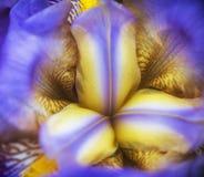 Détail de fleur d'iris de sang macro Photos stock