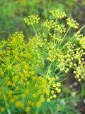 Détail des fleurs d'aneth et de x28 ; fin-up& x29 ; Fond brouillé Photo stock