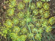 Détail des fleurs d'aneth et de x28 ; fin-up& x29 ; Fond brouillé Image stock