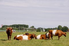 Dtch belted cows Stock Photos