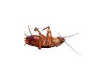 Dött kackerlackafel för kryp på vit bakgrund isolerat Royaltyfria Bilder