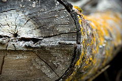 Dty old log with yellow fungus Stock Photography