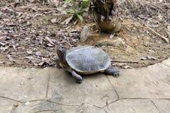 Duży żółw przy Vietnam parkiem narodowym zdjęcie stock