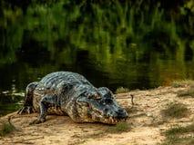 Duży caiman w Pantanal, mato grosso, Bresil zdjęcie stock