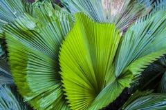 Duży i jaskrawy - zieleń liście drzewko palmowe różni cienie w ogródzie botanicznym charcica tropikalne lasowe rośliny Natura fotografia royalty free