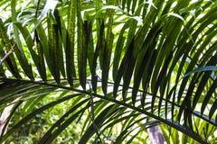 Duży i jaskrawy - zieleń liście drzewko palmowe różni cienie w ogródzie botanicznym charcica tropikalne lasowe rośliny Natura zdjęcie royalty free