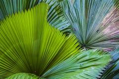 Duży i jaskrawy - zieleń liście drzewko palmowe różni cienie w ogródzie botanicznym charcica tropikalne lasowe rośliny Natura zdjęcia stock