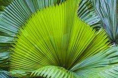 Duży i jaskrawy - zieleń liście drzewko palmowe różni cienie w ogródzie botanicznym charcica tropikalne lasowe rośliny Natura fotografia stock