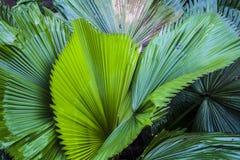 Duży i jaskrawy - zieleń liście drzewko palmowe różni cienie w ogródzie botanicznym charcica tropikalne lasowe rośliny Natura zdjęcie stock