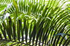 Duży i jaskrawy - zieleń liście drzewko palmowe różni cienie w ogródzie botanicznym charcica tropikalne lasowe rośliny Natura obrazy stock