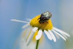 Duża ściga zbiera pollen od chamomile zdjęcie royalty free