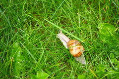 Duża ślimaczek trawa z raindrops Obrazy Royalty Free