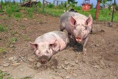Duża świnia na gospodarstwie rolnym Zdjęcia Stock