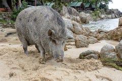 Duża świnia na piasek plaży w wyspie Phangan, Tajlandia zdjęcia stock