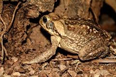 Duża żaba od Ameryka Południowa, Caen kumaka - zdjęcie stock