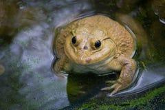 Duża żaba w gospodarstwie rolnym zdjęcie royalty free