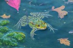 Duża żaba w jeziorze zdjęcie royalty free