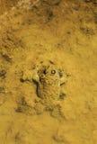 Duża żaba w wodzie Obraz Royalty Free