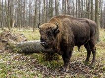Duża Auroch pozycja w lesie Europejski żubra żubra bonasus, także znać jako wisent lub Europejski drewniany żubr, Rosja obraz stock
