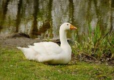 Duża biała domowa gąska na zielonej trawie blisko jeziora Zdjęcie Royalty Free