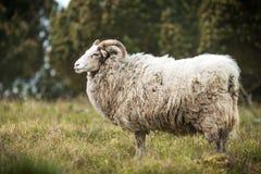 Duża biała męska barania pozycja w trawie Fotografia Stock