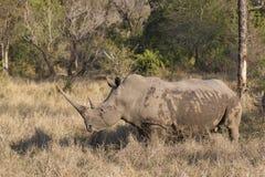 Duża biała nosorożec w południowym Afryka Zdjęcia Royalty Free